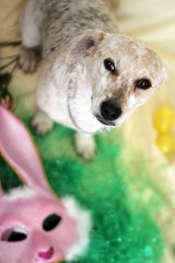 You Aren't Funny, I'm No Bunny! (MonsterInMasquerade) Tags: rescue bunny beautiful yellow easter mutt rocket adopted loved heelermix
