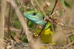 Lacerta viridis (Nikola Rahme) Tags: nature europe hungary greenlizard reptilia sauria lacertidae