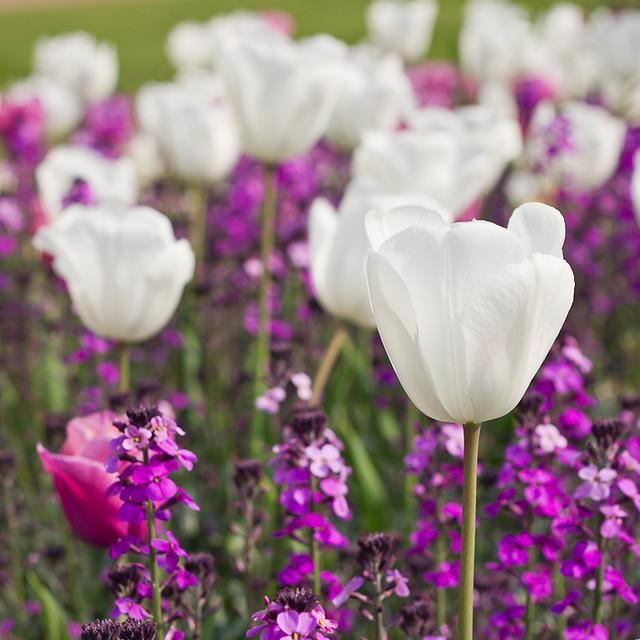 White & Purpure