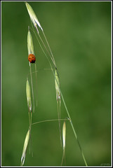 Seven-spot ladybird -   (Eran Finkle) Tags: macro closeup ladybird ladybug ladybeetle coccinellidae coccinellaseptempunctata
