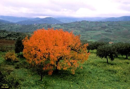 albero d'oro (collesano)