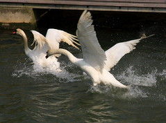 IMG_0138 (Martin P Perry) Tags: white bird water birds canon river flying swan wings marine photographer martin events flight feathers festivals hampshire quay bands swans newport isleofwight dorset mating medina weddings perry wight bif lymington iow plumage bandphotography martinperry martinperryphotography martinperryphotographer