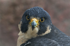 Peregrine falcon (ucumari) Tags: bird north january falcon carolina nczoo peregrine 2011 specanimal ucumariphotography dsc5595