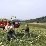 Artichaut camus en récolte à Kerbors