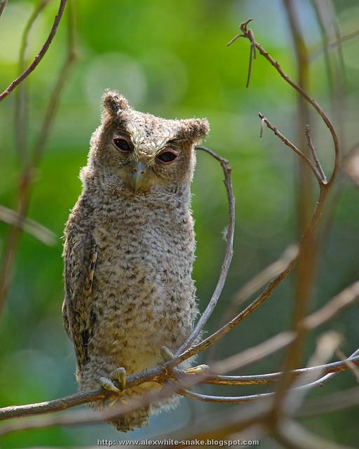 領角鴞寶寶 Otus bakkamoena