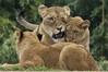 A mothers snuggle (ucumari photography) Tags: cub smithsonian dc washington lion april nationalzoo lioness 2011 specanimal specanimalphotooftheday ucumariphotography dsc8217