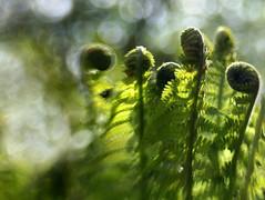 Unfurling Forest Ferns (Anne Worner) Tags: plant blur fern green lensbaby bokeh bokehwhores sweet35