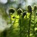 Unfurling Forest Ferns