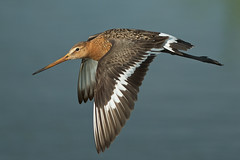 Black-tailed godwit (limosa limosa) - Explore'd (PeterQQ2009) Tags: holland birds limosalimosa specanimal