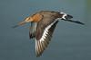 Black-tailed godwit (limosa limosa) - Explore'd (PeterQQ2009) Tags: holland birds limosalimosa specanimal