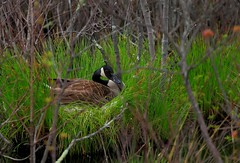 Canada Goose Nesting at Great Swamp Wild Life Refuge (Mayank...) Tags: life new wild canada cold weather birds america golf that mexico us geese berries state suburban patterns south traditional great farming north flight parks social canadian goose cycle swamp jersey grasses paths grains airports northern across ubiquitous honk grounds impressive province noisy groups settlement permanent migrations refuge courses residents adaptable nuisance flocks thrive flew aerodynamic habitats established shortened wintering yearround endures populations summered subdevelopments americacontiguous vformations