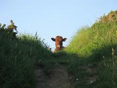 Nosy cow. (ttwff) Tags: uk travel camping wild england animal animals walking coast cow milk funny walks cornwall cows britain hiking path walk farm farming hike backpacking farms paths milking nosey hikes fs nosy coastpath swcp morwenstow southwestcoastpath thesouthwestcoastpath