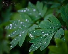 Rain (Morristowne) Tags: plants green nature leaves rain yard garden spring nikon waterdrop f28 raindrop bleedinghearts 1755mm nelsonvilleohio d7000 ohiophotographer morristownephotography