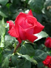 Rose Red Devil バラ レッドデビル