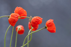 Poppies after rain (le cabri) Tags: red flower five poppy poppies lovely delicate papaver pavot coqielicot