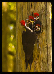 WE'RE HUNGRY!!!!   EXPLORED 5/20/2011 (Javier Huanay) Tags: nature woodpecker nikon nest florida outdoor wildlife javier bradenton d80 huanay