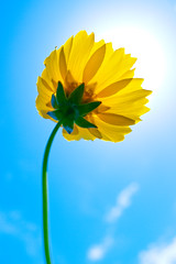 [フリー画像] 花・植物, 秋桜・コスモス, 黄色の花, 201106060700