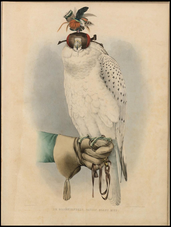 Le Groënlandais, Faucon Blanc Mué