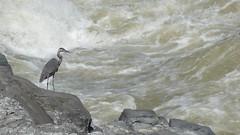 DSC10489 (crop) (huebner family photos) Tags: birds whitewater wildlife sony rivers herons chesapeakeohiocanalnationalhistoricalpark 2011 hx5v
