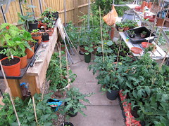 Greenhouse toms and peppers