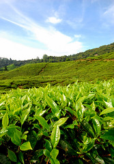 Tea leaves (Applegal) Tags: tea malaysia cameronhighlands pahang teaplantation bohtea sgpalas