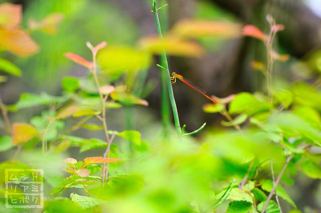 Ceriagrion nipponicum