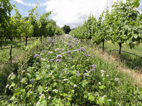 flowers in the vineyard