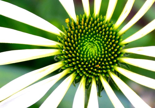 white coneflower by ellajohn