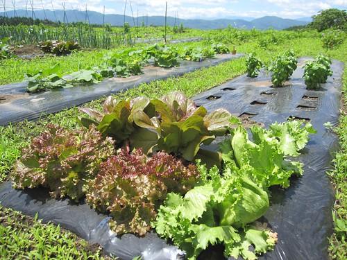 収穫中のレタスなど 2011年6月29日11:35 by Poran111