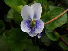 Boot Lake Nature Preserve (tquist24) Tags: flower macro geotagged spring indiana elkhart wildflower bootlakenaturepreserve nikoncoolpixaw100