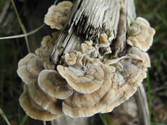 Cogumelos (mendes.madalena) Tags: fungi cogumelo deerpark denmark jaegersborg dyrehave