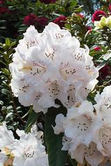 20160928-DSC_8815 (rosemaree905) Tags: hobart flower yellow red white duck garden spring nikon nikond7100