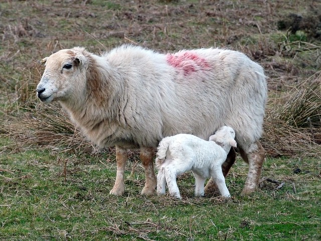 24042 - Sheep and lamb, Bryn-bach-Common