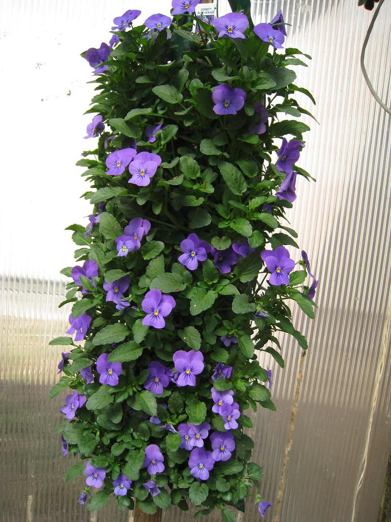 Hanging Viola 006