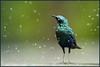 Who'll Stop the Rain? (hvhe1) Tags: africa camp bird wet rain animal southafrica drops wildlife safari raindrops afrika vogel gamedrive gamereserve whollstoptherain malamala capeglossystarling lamprotornisnitens glansspreeuw specanimal animalkingdomelite hvhe1 hennievanheerden avianexcellence