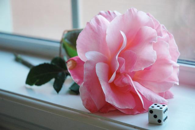 pinkrosewithdice462