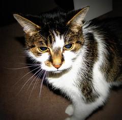 (Wass11) Tags: portrait pet cute animal animals cat whiskers catportrait animalportrait