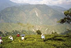 darjeeling tea (zsozso68) Tags: india tea plantation himalaya darjeeling epsonperfectionv700photoscanner