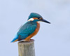 The Fisher (Andrew Haynes Wildlife Images) Tags: nature wildlife kingfisher coventry warwickshire brandonmarsh canon7d ajh2008