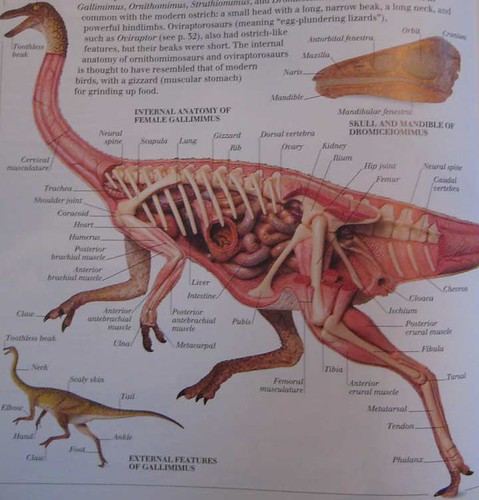 Eyewitness Visual Dictionary of Dinosaurs, the insides of an Ornithomimid