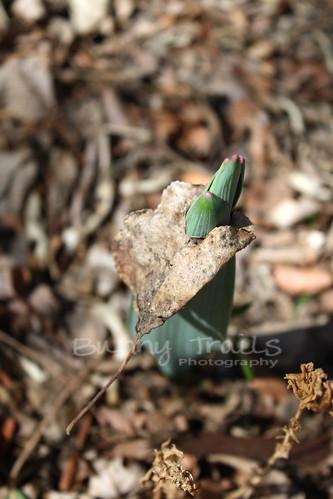 alium in leaf
