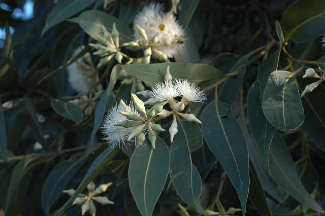 Swamp Mahogany Flowers