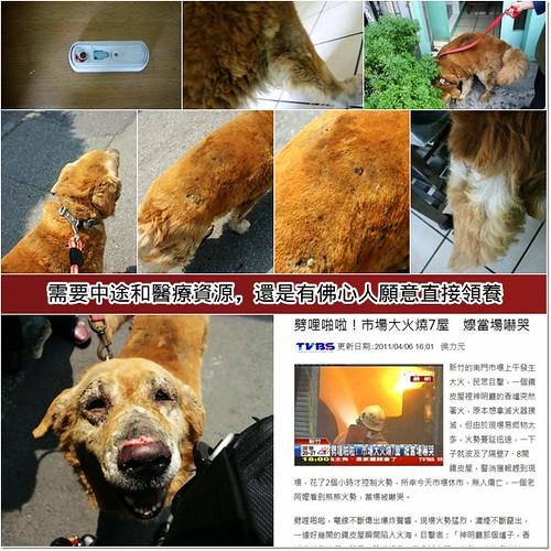 「支援助認養」新竹撿到被火紋身的黃金獵犬皮皮弟弟~原主已於中國過世,其家人也不願醫療而棄養,需要中途和醫療資源,20110408