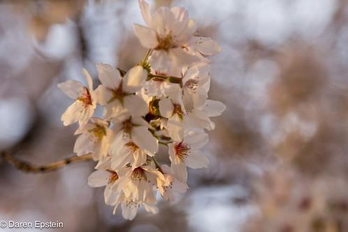 Sakura Bokeh