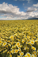 Field of Dreams - Carrizo Plain National Monument (Joshua Cripps) Tags: california flowers white rain yellow rainbow tripod wildflowers carpets nationalmonument manfrotto naturephotography acratech ballhead carrizoplain tidytips cumulousclouds joshuacripps april2011 nikond300s presidentofthecrippsfanclub