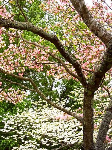 Pink and White Dogwoods:  Tarboro Vicinity, Edgecombe County, NC