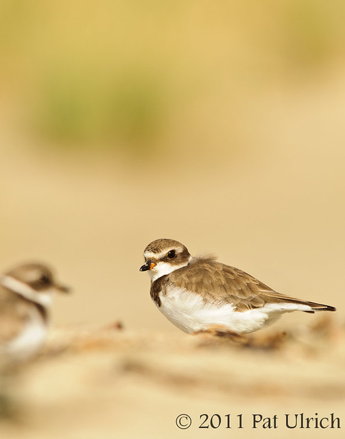Pair of plovers - Pat Ulrich Wildlife Photography