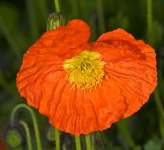 Orange Poppy Bloom In Spring (aeschylus18917) Tags: flowers orange flower macro nature japan season tokyo spring nikon seasons bokeh g micro poppy   bud nikkor  f28 nerima vr pxt papaver papaveraceae 105mm nerimaku 105mmf28   105mmf28gvrmicro  d700 nikkor105mmf28gvrmicro  nikond700 danielruyle aeschylus18917 danruyle druyle