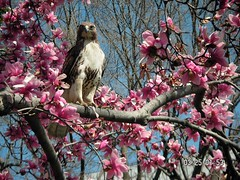 hawk in Lafayette Square, downtown DC (by: Lia Brown, creative commons license)