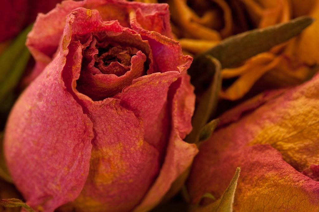 Dried Rose #2
